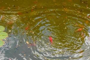 alimentando hermosos peces carpa roja en un estanque casero foto