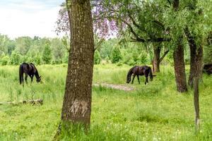 Hermosos caballos bien cuidados pastan en la pradera de selenio con jugosa hierba verde foto