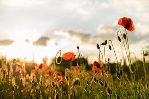 Beautiful red poppies in defocus on a beautiful summer green field photo