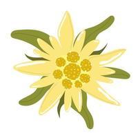 Edelweiss mountain flower. Flat illustration. vector