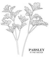 SKETCH OF PARSLEY ON A WHITE BACKGROUND vector
