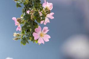 Flores de rosa mosqueta sobre un fondo gris borroso foto