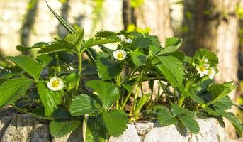 Blooming strawberries on a background of pine needles. photo
