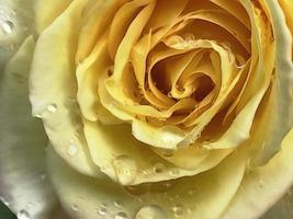 Cerca de rosa amarilla y gotas de lluvia foto