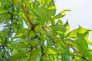 nectarine tree with green leaves and raw fruits photo