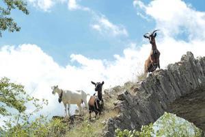 cabras en las montañas foto