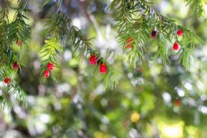 Tejo europeo taxus baccata árbol foto
