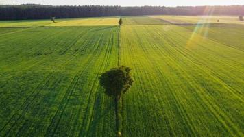 Lone tree on the green fields photo