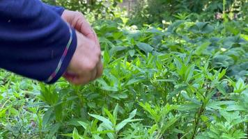 A Woman Picking Mint In The Garden On A Fine Morning - Close Up video