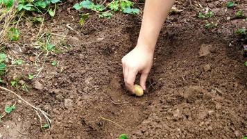 plantar batatas manualmente. colocar batatas no campo orgânico preparado para o plantio. plantando batatas com as mãos em sulcos video