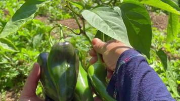 A Woman Picking Green Hot Peppers In The Garden On A Fine Morning - Close Up video