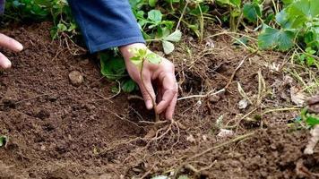 mãos colocando uma bela muda no solo. close-up tiro de plantio. conceito de ecologia. novo conceito de vida video