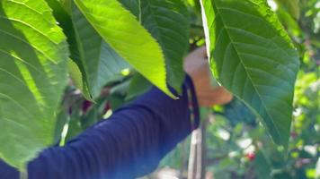 A Woman Picking Cherry In The Garden On A Fine Morning - Close Up video