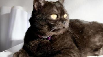 Portrait of adorable black smoke british shorthair cat looking up in home video