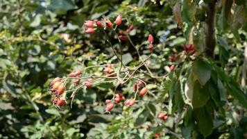 Close-up of rosehip fruit swaying in the wind video
