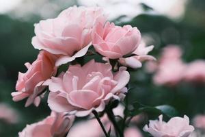 rosas rosadas en flor en el jardín foto