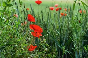 amapolas rojas en flor sobre fondo de cielo azul. abejorros, sol, primavera, naturaleza. foto