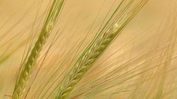 vete jordbruk skörd. video