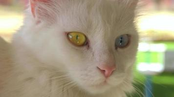 A special cat with two different eyes, Blue and Green. video