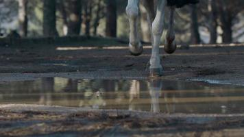 Horse running through water. Slow motion video