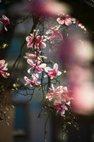 Blooming magnolias in the old quarters of Strasbourg, warm sunny spring. photo