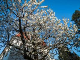 Old houses in a residential area of Strasbourg. Spring, flowering trees. photo