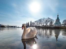 An elegant white swan on the water of the river photo