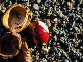 Ripe chestnuts that have fallen to the ground and split open. photo