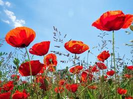 amapolas rojas en flor sobre fondo de cielo azul foto