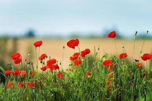 amapolas rojas florecientes foto