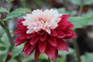 red and white dahlia flower photo