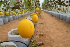 melón que crece en invernaderos foto