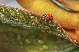 mariquita roja sobre las hojas verdes de la planta. macrofotografía. Después de la lluvia foto