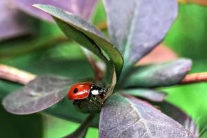 mariquita roja en las hojas de la planta. macrofotografía. foto