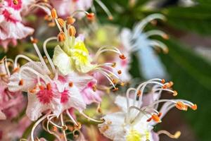inflorescencias de castaño. primer plano de flores de rosa blanca. fondo natural foto