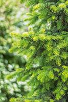 Natural background of young green spruce branches photo