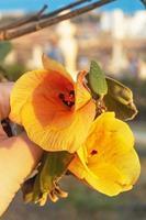 Orange Rosewood flower close-up. Indian Tulip Tree photo