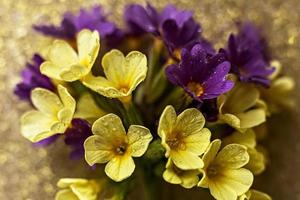 Yellow and purpler primrose flowers close up on a golden background with raindrops photo