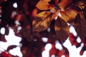 red tree leaves in the nature in autumn season red background photo