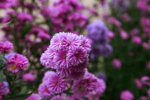 hermoso de benjamas flor de fondo foto