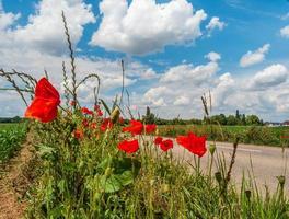 amapolas en flor en francia foto