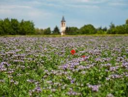 amapolas florecientes en los campos de flores lilas foto