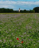 Blooming poppies in the fields of lilac flowers photo
