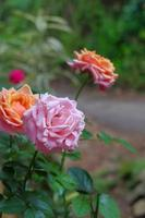 A close-up photo of a rose in two colors, orange, and pink