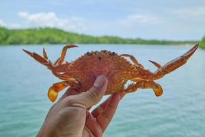 Close-up photo of a fresh sea crab in the hand.