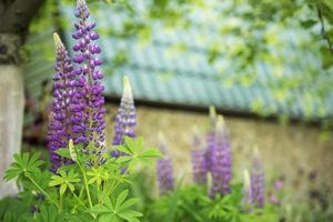 flores de lupino violeta y morado foto