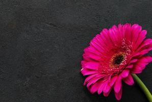 Flor de gerbera brillante sobre fondo negro foto