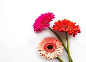 Flores de gerbera brillante sobre un fondo blanco. foto