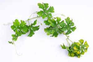 Composition of healthy fresh green bitter gourd with green leaves photo
