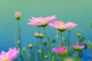 Cosmos rosa flores sobre un fondo azul. foto